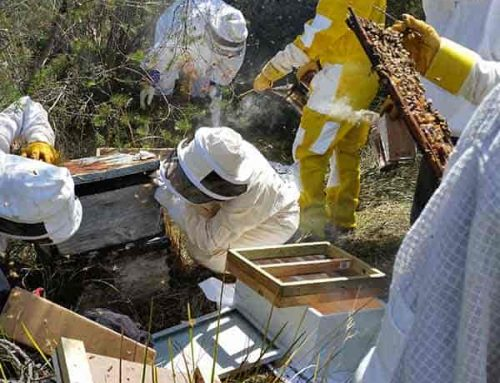 Bee rescue in Royal National Park