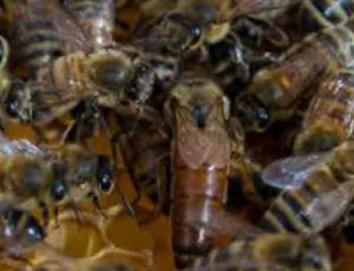 Queen Bees Available Now