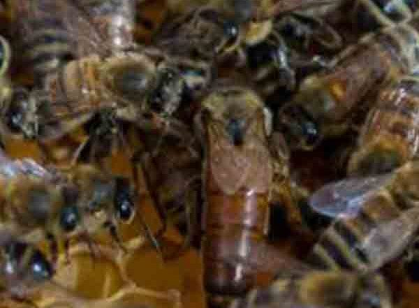 queen-and-workers-on-bee-frame