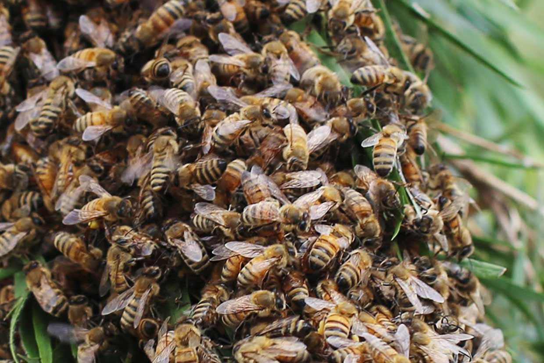 swarm-bees-20161030-illawarra-beekeepers-field-day