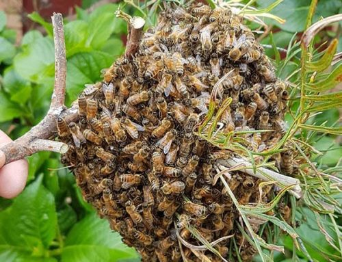 Live Bee Swarm Demo Field Day 26.8.2018