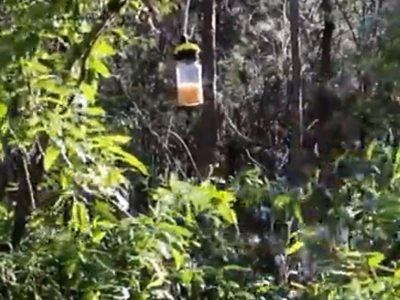 Catching Small Hive Beetle How to prepare and deploy lantern traps hanging trap