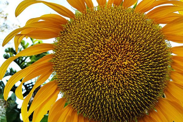illawarra-Beekeepers-sunflower-bee-friendly-garden