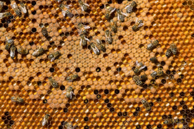 bee-brood-frame