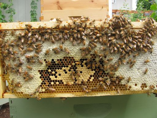bee-brood-frame-with-honey