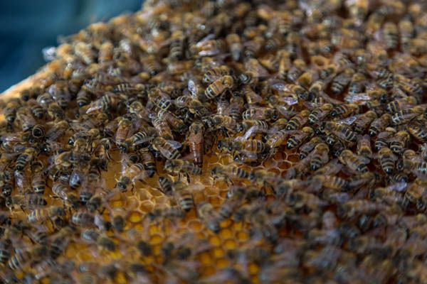 048-Queen-Bee-And-Worker-Bees-On-Honeycomb-20150807