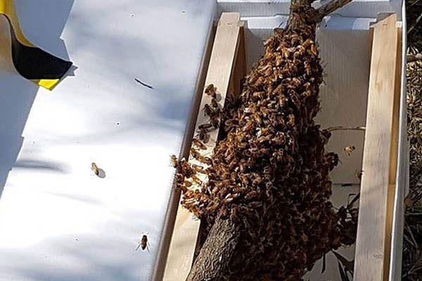 bee-swarm-on-branch-in-nuc-illawarra-Beekeepers