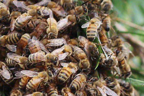 close-up-bee-swarm-illawarra-Beekeepers