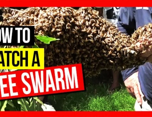 Catching A Bee Swarm ft Bruce White | ABA of NSW Field Day 2019